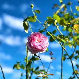咲き出したバラ♡〝スピリットオブフリーダム〟と薬剤散布♫