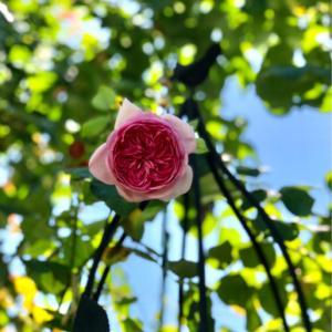 銀行での出来事(^^;と、咲き出したバラ〝ローズポンパドゥール、バフビューティ〟