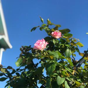 咲き出したバラ〝シャルドネ〟〝ソフィーロシャス〟〝ストロベリーアイス〟♡