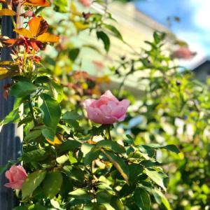 黒星病考(・_・;と、咲き出したバラ〝ダフネ〟〝ペッシュボンボン〟〝アリアドネ〟