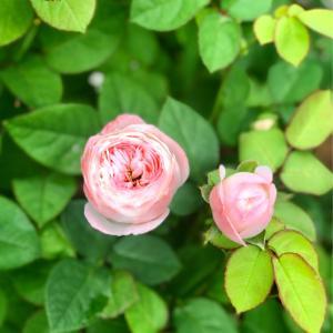 気温10度差のガーデン( ;  ; )と、咲き出したバラ〝ソワイユ〟