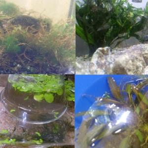 メダカ成魚と水草・流木