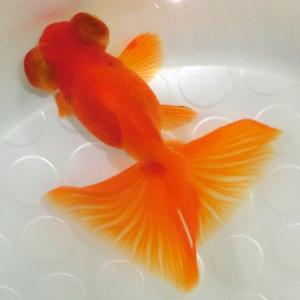絶賛出品中!【極上親蝶尾 3歳魚12~13.5cm】