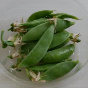 エンドウ豆収穫終わりました