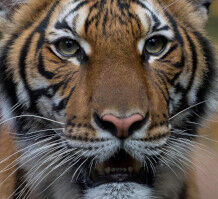 【ナディア】ニューヨークのトラ、ナディアちゃん(4)がコロナ感染。他にライオンにも症状あり