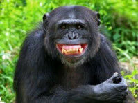 【野生】ウガンダでチンパンジーが人間の子供を殺害