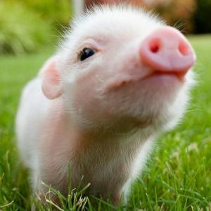 【生贄】ニシキヘビ逃走一週間全然見つからず...とうとう子豚を餌に捕獲作戦決行!