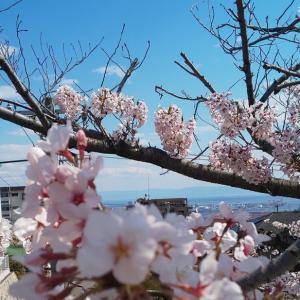 それでも桜は
