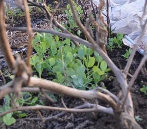 枯れたナスの枝を利用してエンドウマメの栽培