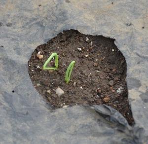 芽が出たよ