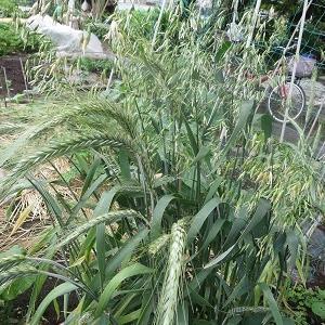 小麦の種から異変株?が出てきましたよ⁉
