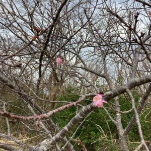 河津桜が少しだけ咲きました
