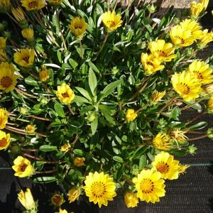 🌻ガザニア🌻 ~家の前のTreasure flower~