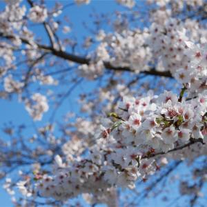 桜の姿に憧れて。