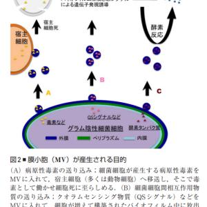 (論文)フィンブリエを介した外膜小胞の産生とポルフィロモナスジンジバリスの侵入