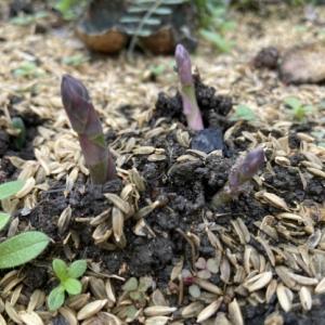 アスパラ発芽