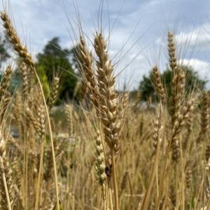小麦の収穫とさつまいもの植え付け