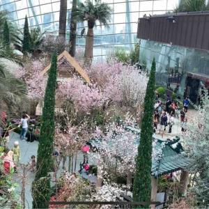 期間限定50%OFF!【桜祭り / Sakura Matsuri】@ガーデンズ バイ ザ ベイ フラワードーム
