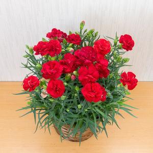 割引クーポンあり!【母の日にお花のプレゼント】日本国内発送OK!