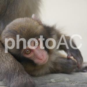 野生猿を間近に見れる 淡路島モンキーセンター