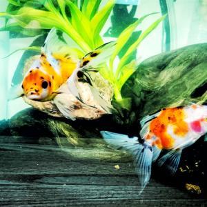 メダカの良いけど金魚もね…平賀産の東錦