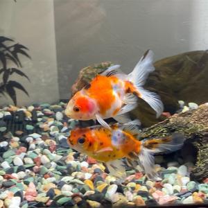金魚の噺し ウチの東錦
