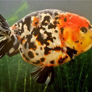 どうしても欲しい江戸錦(金魚)と金魚飼育への熱望