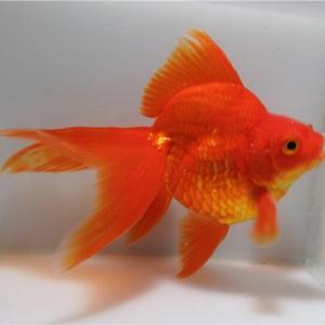 金魚を知る!4つに分ける金魚の型(琉金)