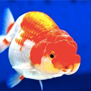金魚を知る!其の3・4つに分ける金魚の型(ランチュウ)