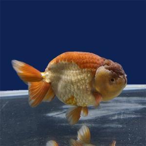 続!金魚を知る!其の3[蘭鋳(ランチュウ)]