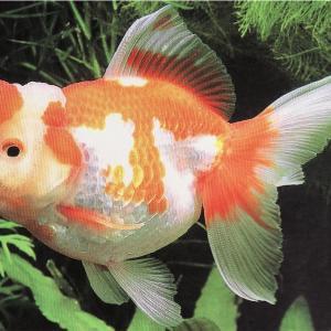 金魚を知る!其の4[オランダ]4つに分ける金魚の型