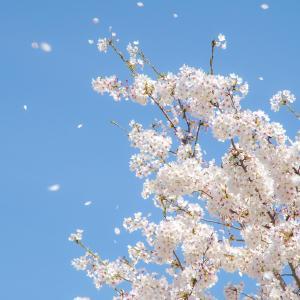 桜吹雪舞う中でお花見@百間川せせらぎ広場(岡山市中区)