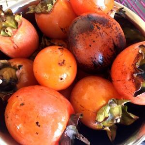 熟した柿で柿酢作り