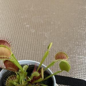 【ネタ系】カブトムシの幼虫の糞をハエトリグサの肥料にしてみました。