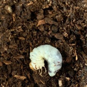 オキナワネブトクワガタ幼虫を飼育しています。