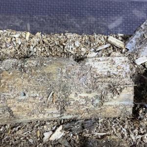 カブクワの産卵セット飼育セットに湧く白い虫