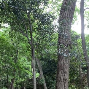 さいたま市緑区で樹液採集(未遂)20200531