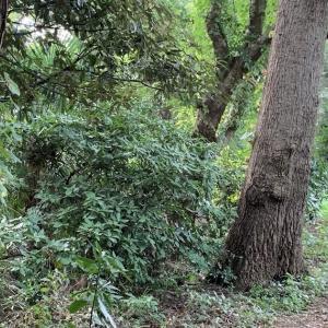さいたま市緑区でカブクワ採集20200810