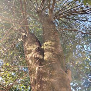 薪作り2020薪会②巨大樫の木に挑む!!!ヘンタイ的薪活。