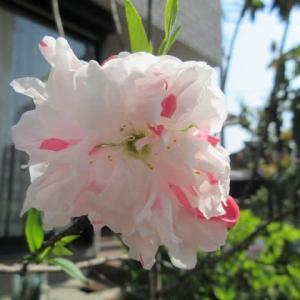 庭の花桃が咲きました☆