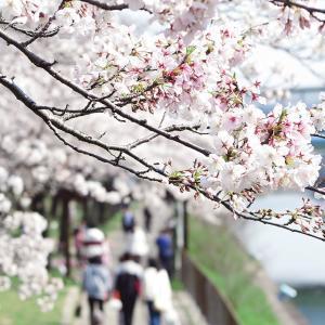 【名古屋・港区】荒子川公園の桜のトンネルをくぐって散策
