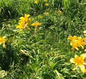 カンゾウの花 群生地