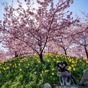 上関町の城山歴史公園で河津桜とメジロに癒されてきた