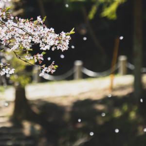 愛犬と散歩しながら舞い散る桜を愛でてきた