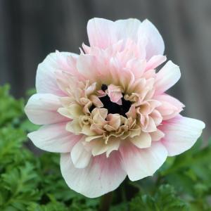 八重咲きアネモネ「アンアリス」でご縁を頂いたお客様