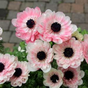 八重咲きアネモネ「アンアリス」の価格に思う事