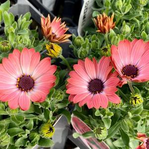 早春にオススメの花!オステオオスペルマム・セレニティ