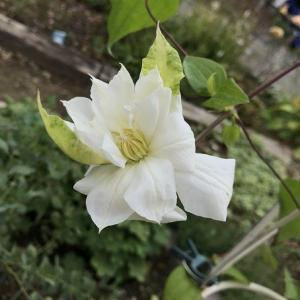 新枝にダッチェスオブエジンバラが咲いた