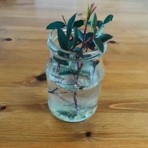 ロサ・グラウカの挿し木