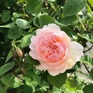 ジェントルハーマイオニー&ラレーヌビクトリアが開花、そしてシャインマスカット。